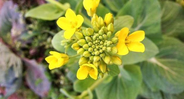 Canola_Flower_0